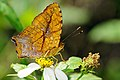 Symbrenthia lilaea formosanus ventral view 20150214.jpg