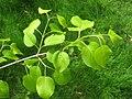 Syringa pekinensis 'Morton', Arnold Arboretum - IMG 5973.JPG