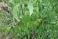 Syringa vulgaris, familija Oleacea 05.jpg
