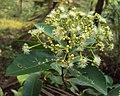 Syzygium caryophyllatum 30.JPG