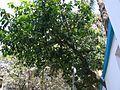 Syzygium samarangense (2092863817).jpg