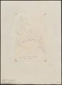 Tachyphonus notabilis - 1855 - Print - Iconographia Zoologica - Special Collections University of Amsterdam - UBA01 IZ15900281.tif