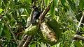 Tachyphonus rufus (4546055794).jpg