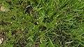 Tagetes filifolia.jpg