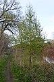 Tamarack (Larix laricina) - Guelph, Ontario 2020-05-16.jpg