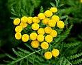 Tanacetum vulgare 'crispum', boerenwormkruid. Locatie De Kruidhof.JPG