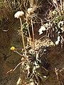 Taraxacum serotinum sl86.jpg