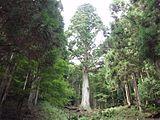 Taro-sugi 20111002.jpg