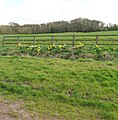 Taunton Deane , Daffodils along Park Lane - geograph.org.uk - 1243526.jpg