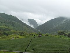 Tea plantation Alishan.jpg