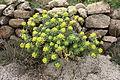 Teguise - Camino de Teguise al las Nieves - Euphorbia regis-jubae 05 ies.jpg
