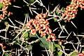 Teguise Guatiza - Jardin - Euphorbia grandicornis 04 ies.jpg