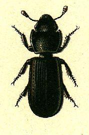 178px-Tenebroides_mauritanicus