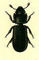 Tenebroides mauritanicus.jpg