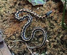 Garter snake - Wikipedia