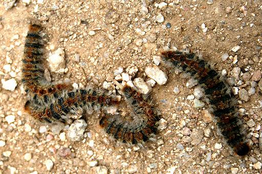 Thaumetopoea pityocampa JPG1