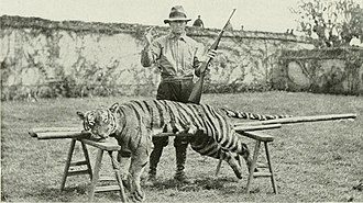Big-game hunting - 400 pound Tiger taken by Reverend H. R. Caldwell using a Savage Model 99 chambered for .22 Savage Hi-Power