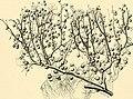 The American journal of anatomy (1901) (14597389018).jpg