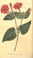 The Botanical Magazine, Plate 371 (Volume 11, 1797).png