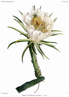 <i>Hylocereus setaceus</i> species of plant
