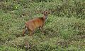 The Indian muntjac.jpg