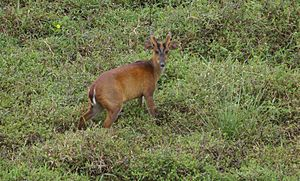 Sangu Matamuhari - A Barking deer