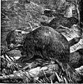 The animals of the world. Brehm's life of animals; (1895) (20747836956).jpg