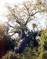 The big baobab tree (3200753970).jpg
