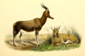 The book of antelopes (1894) Damaliscus albifrons.png