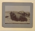 The last of the Canadian buffaloes Photo No 580 (HS85-10-13487) original.tif