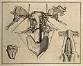 The uterus, after Swammerdam, De Graaf and Cheselden. Etchin Wellcome V0007867.jpg
