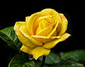 The yellow rose of Texas .... possibly (9014402234).jpg