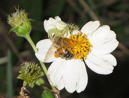 攻撃擬態を取るオキナワアズチグモ:背景に溶け込み、自身の姿を隠す。蜜を吸いにやって来たハチをつかまえた。