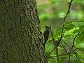 Three-toed Woodpecker, Białowieża Forest, Poland (4664052047).jpg