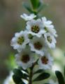 Thryptomene calycina2.png