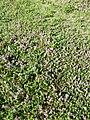 Thymus praecox subsp. praecox sl17.jpg