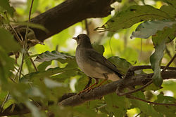Tickell's Thrush male.jpg