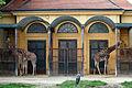 Tiergarten Schönbrunn - Giraffen 2010.jpg