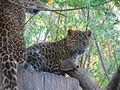 Tierpark Cottbus China-Leopard3.JPG