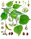 Tilia cordata - Köhler–s Medizinal-Pflanzen-139.jpg