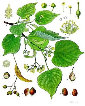 Winter-Linde (Tilia cordata), Illustration