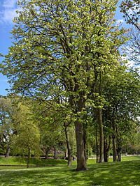 Large-leaved Lime (Tilia platyphyllos)