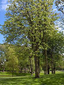 Tilia Wikipedia