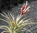 Tillandsia vernicosa 20080624.jpg