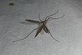 Tipula oleracea (36405800902).jpg