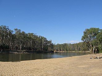 Eucalyptus - Eucalyptus camaldulensis, immature woodland trees, showing collective crown habit, Murray River, Tocumwal, New South Wales