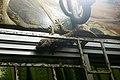 Tokay gecko on Ko Pha Ngan.jpg