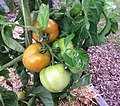 Tomatoes in a raised bed garden.jpg