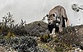 Torres del Paine puma JF4.jpg