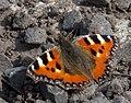 Tortoiseshell Butterfly (4508010086).jpg